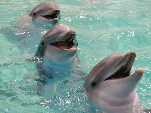 smiling-dolphin