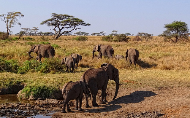 Serengeti-African-Elephants