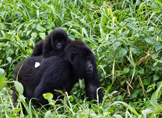 Virunga_Mountain_Gorilla_1
